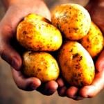 Смажена, варена або печена: в якому вигляді вживати картоплю під час вагітності